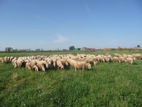 Rebaño de ovejas El Palacio comiendo hierba